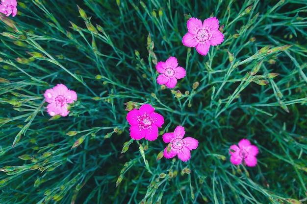 Maiden pink - пурпурно-розовые цветы dianthus deltoides, прямо над видом