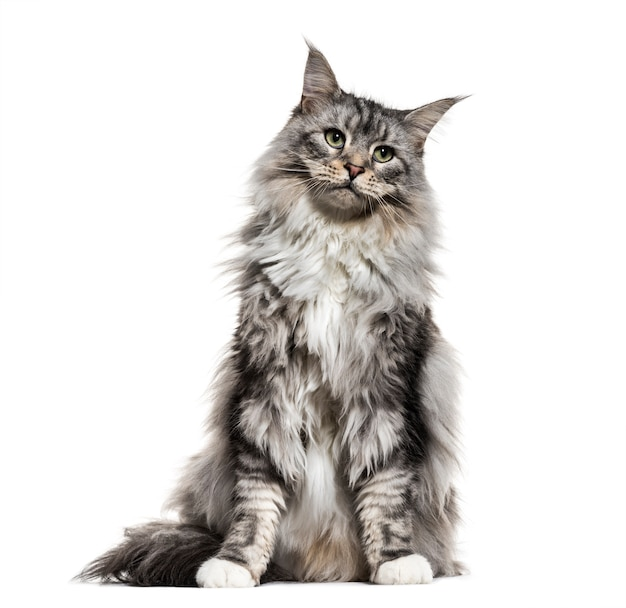 座っているメインクーン猫、白で隔離