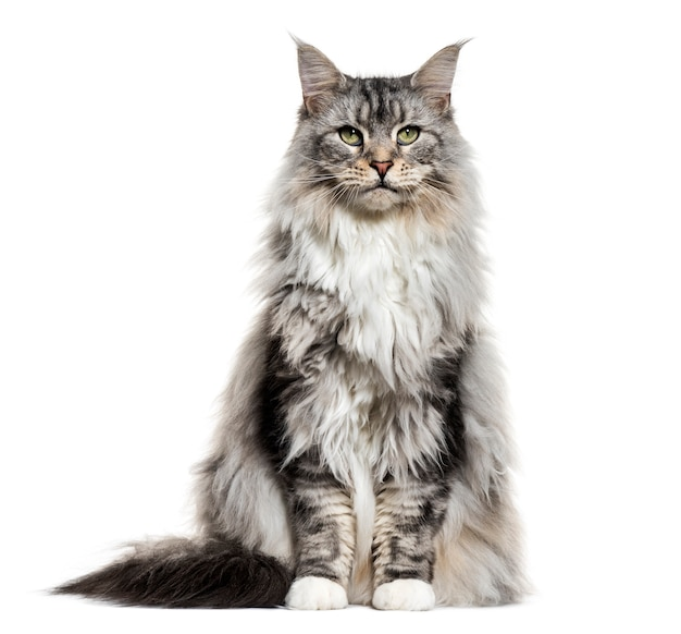 Main coon cat sitting, isolated on white