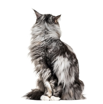 메인 coon 고양이 앉아, 다시 찾고, 흰색 절연