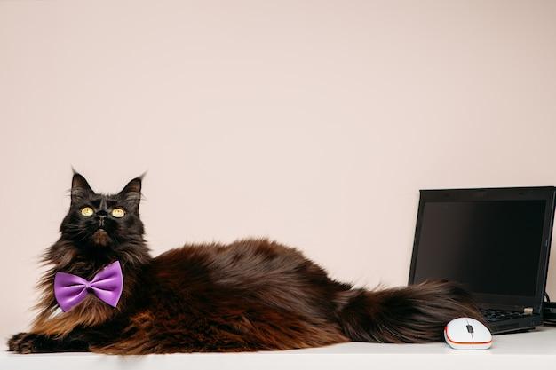部屋に紫色の弓とラップトップを持つメインクーン猫