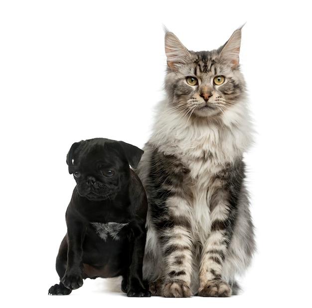 白い壁の前でメインクーンとパグの子犬