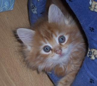 Maine coon baby, pet