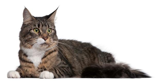 メインクーン猫、2歳、