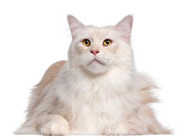 メインクーン猫、3歳、