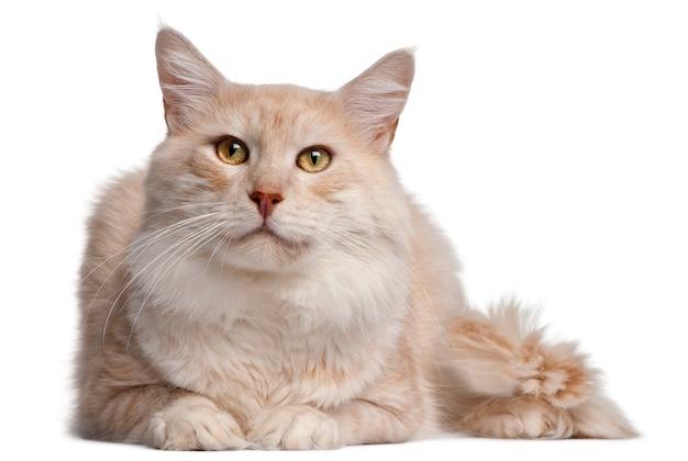メインクーン猫、4歳、