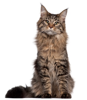 メインクーン猫、7ヶ月、座っています。