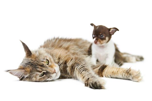 メインクーン猫とチワワの子犬