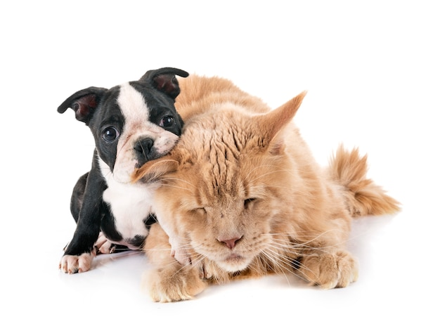 Мейн-кун кошка и маленькая собака