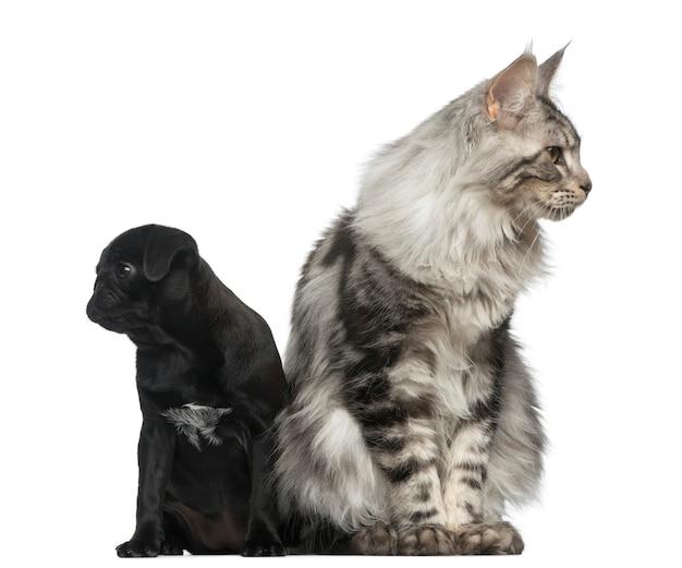 Кошка мейн-кун и щенок мопса
