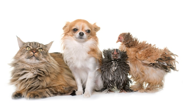 Maine coon cat, chicken and chihuahua