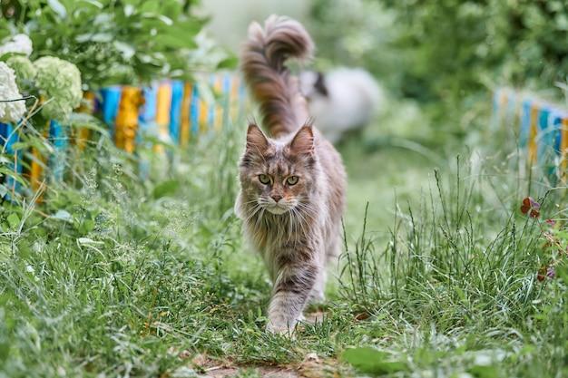 정원에서 메인 coon 고양이입니다. 공원 잔디에 성인 귀여운 고양이 산책. 가정의 사랑과 애정을 위한 큰 고양이 품종.