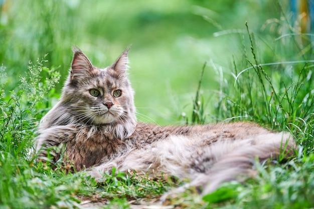 공원 잔디에서 메인 coon 고양이입니다. 성인 귀여운 고양이 정원에서 산책. 가정의 사랑과 애정을 위해 길들여진 가장 큰 고양이 품종.