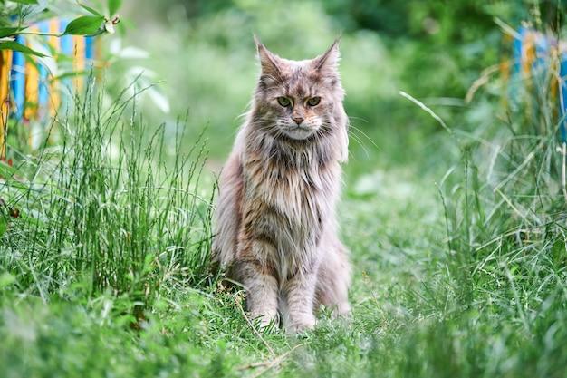 庭のメインクーン猫
