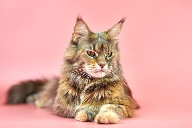 Кошка мейн-кун, изолированные на розовом