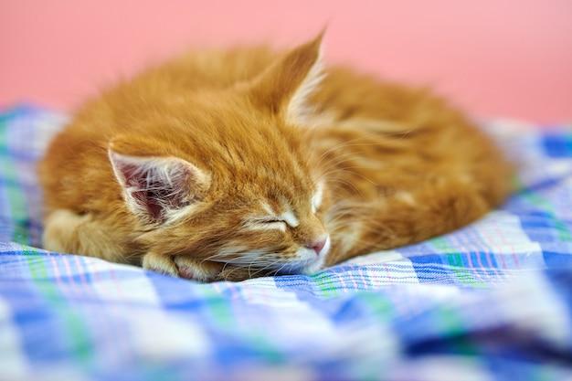 ピンクで分離されたメインクーン猫