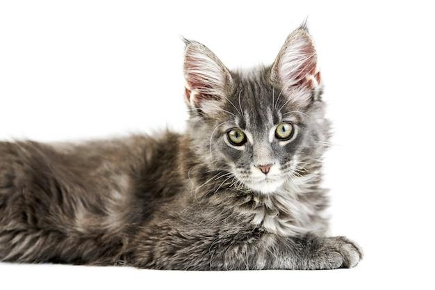 Кошка мейн-кун, изолированные на белом фоне