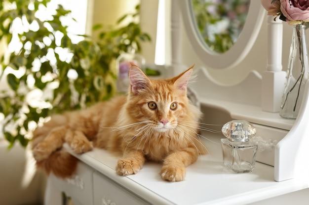 メインクーン猫は白い私室の化粧台の上に横たわっています