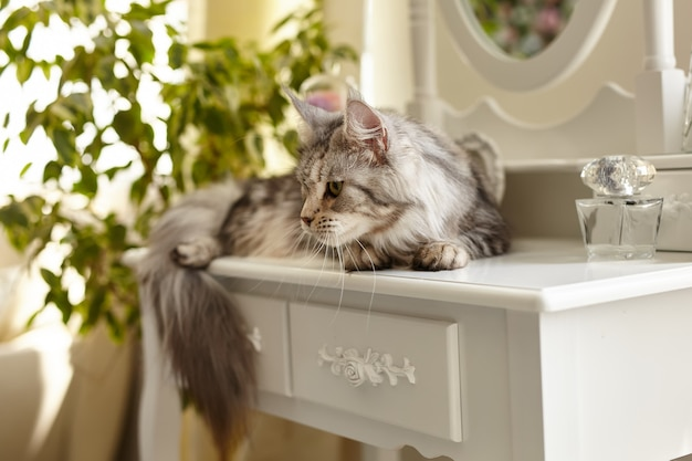 Maine coon cat lies on a white boudoir makeup table