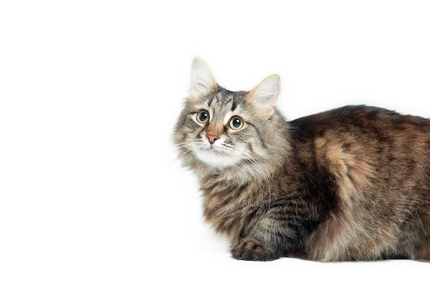 白い孤立した表面上のメインクーン猫、水平方向