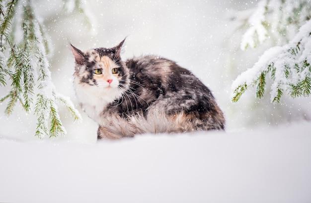 メインクーン猫の多色は、ウィントの森の雪の上に座っています