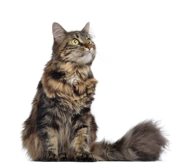 メインあらいくま猫に座って見上げて白で隔離