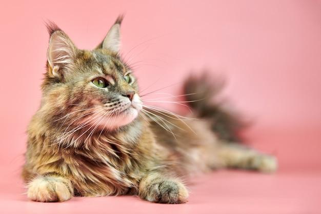 メインクーン猫、べっ甲コート色
