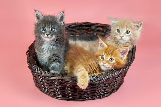 かごの中のメインクーン猫