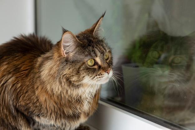 Самка мейн-кун сидит на балконе у окна.