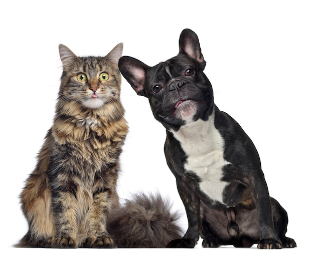 Maine coon and french bulldog sitting next to each other