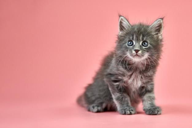 メインクーングレーの子猫