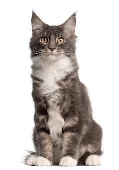 メインクーンの子猫、5ヶ月。分離された猫の肖像画