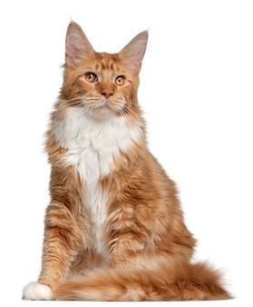 メインクーンの子猫、7ヶ月、