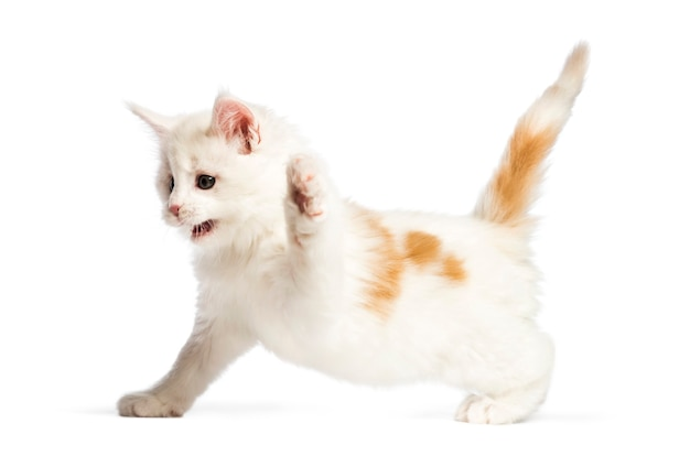 Maine coon kitten, 8 weeks old, in front of white surface