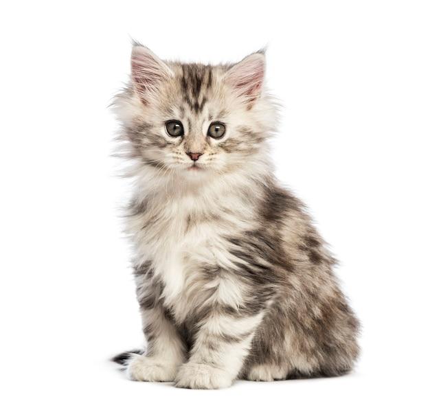 メインクーンの子猫、8週齢、白い背景の前