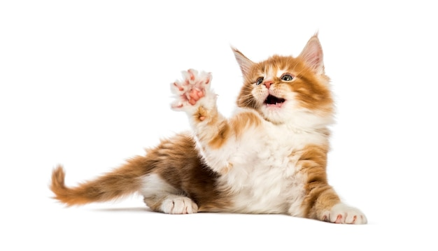 Maine coon kitten, 8 weeks old, reaching out in front of white background