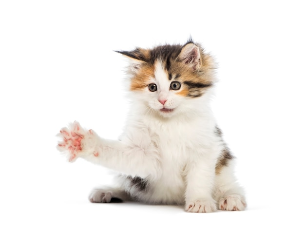 Maine coon kitten, 8 weeks old, reaching out in front of white surface