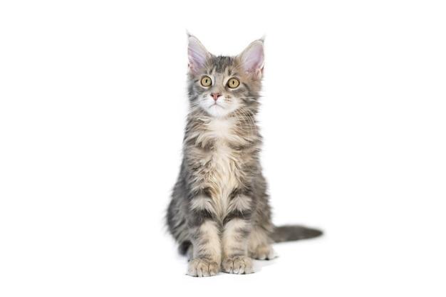 Котенок мейн-кун, изолированные. симпатичная, самая крупная и красивая порода кошек. белый фон