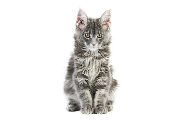 Котенок мейн-кун, изолированные. милый кот мейнкун на белом