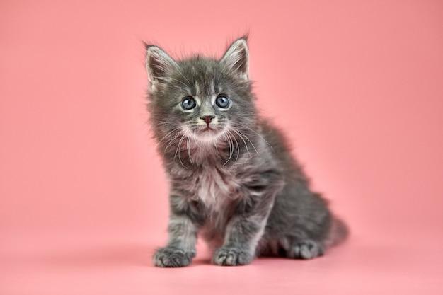 ピンクで分離されたメインクーンの子猫