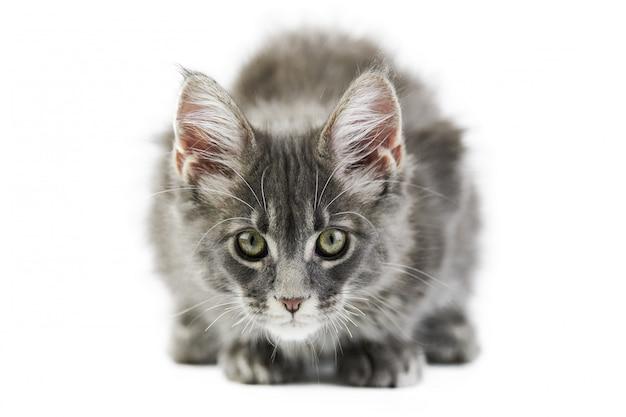 分離されたメインクーンの子猫