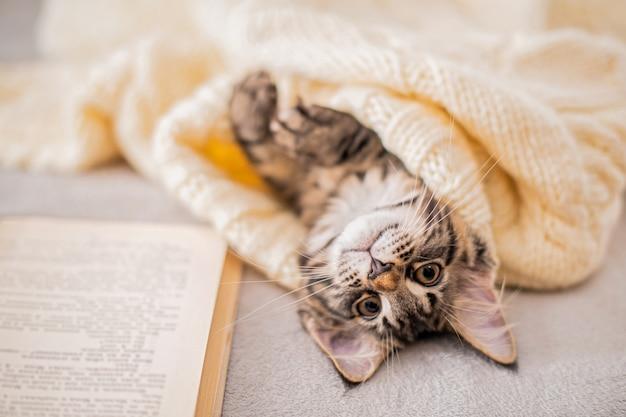 メインクーンの子猫は、居心地の良い雰囲気の中でニットセーターの下で本の上に横たわっています