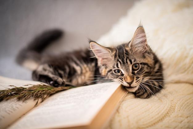 メインクーンの子猫は、ニットの柔らかいセーターの上に横たわり、居心地の良い雰囲気の中で本を噛みます