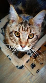 彼の主人を見上げるメインクーンの子猫、メインクーンの猫の肖像画、選択的な焦点