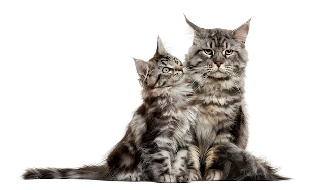 Maine coon kitten and mother in front of white wall