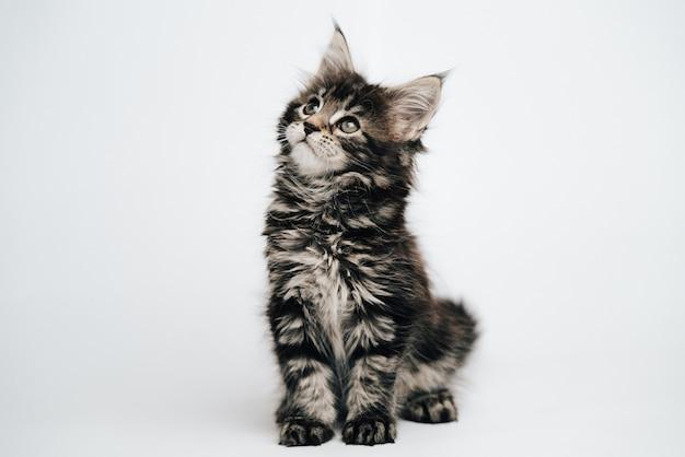 Котенок мейн кун на светлом пространстве, пушистый кот