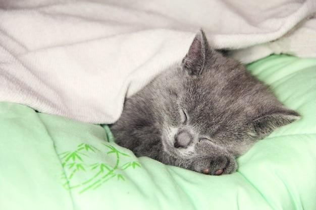 Котенок мейн-кун спит под одеялом. котенок британской породы