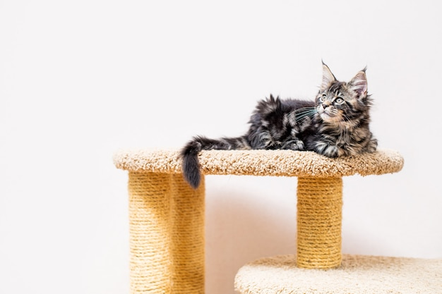 Maine coon kitten with a long fluffy tail sitting on a scratching post against a light wall
