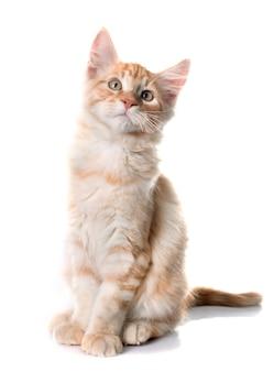 메인 coon 고양이