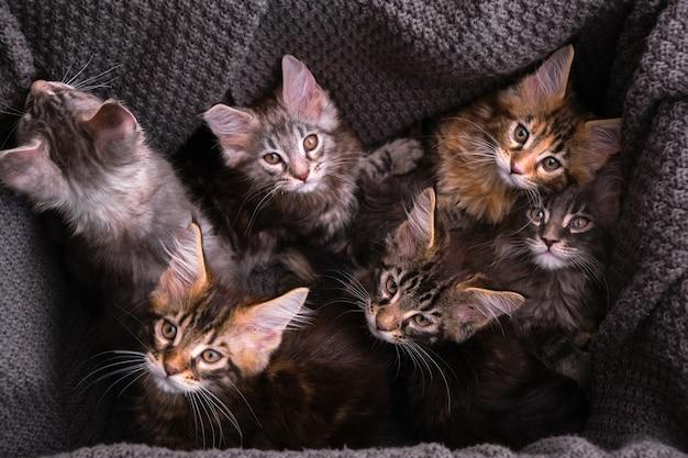 段ボール箱に入った生後2ヶ月のメインクーンの子猫